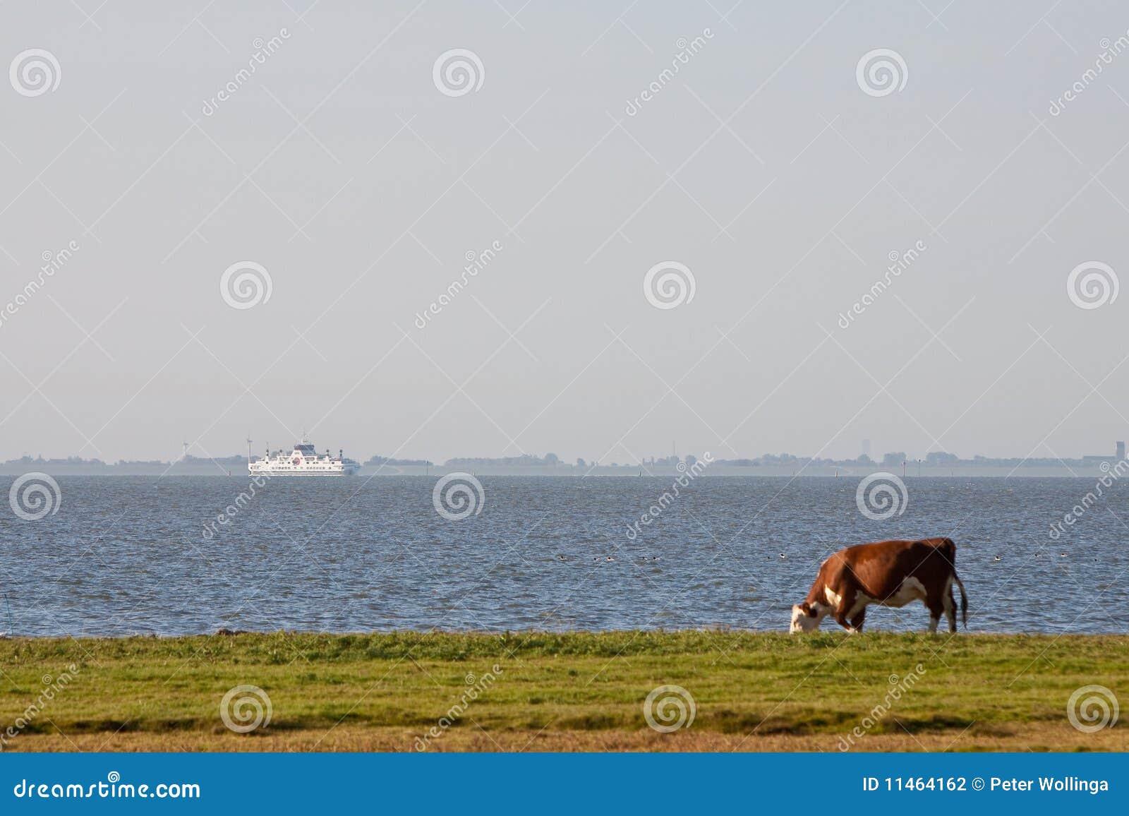 Het weiden van de koe in een landbouwgrond dichtbij water