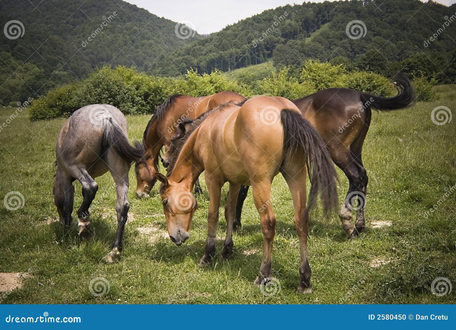 Het weiden van paarden