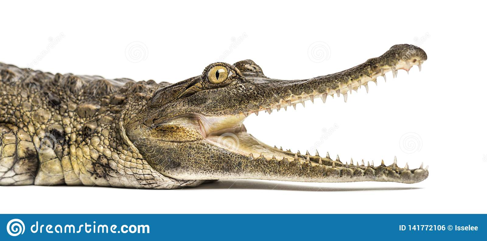 Het westen - Afrikaanse slank-gewroete geïsoleerde krokodil, 3 jaar oud,