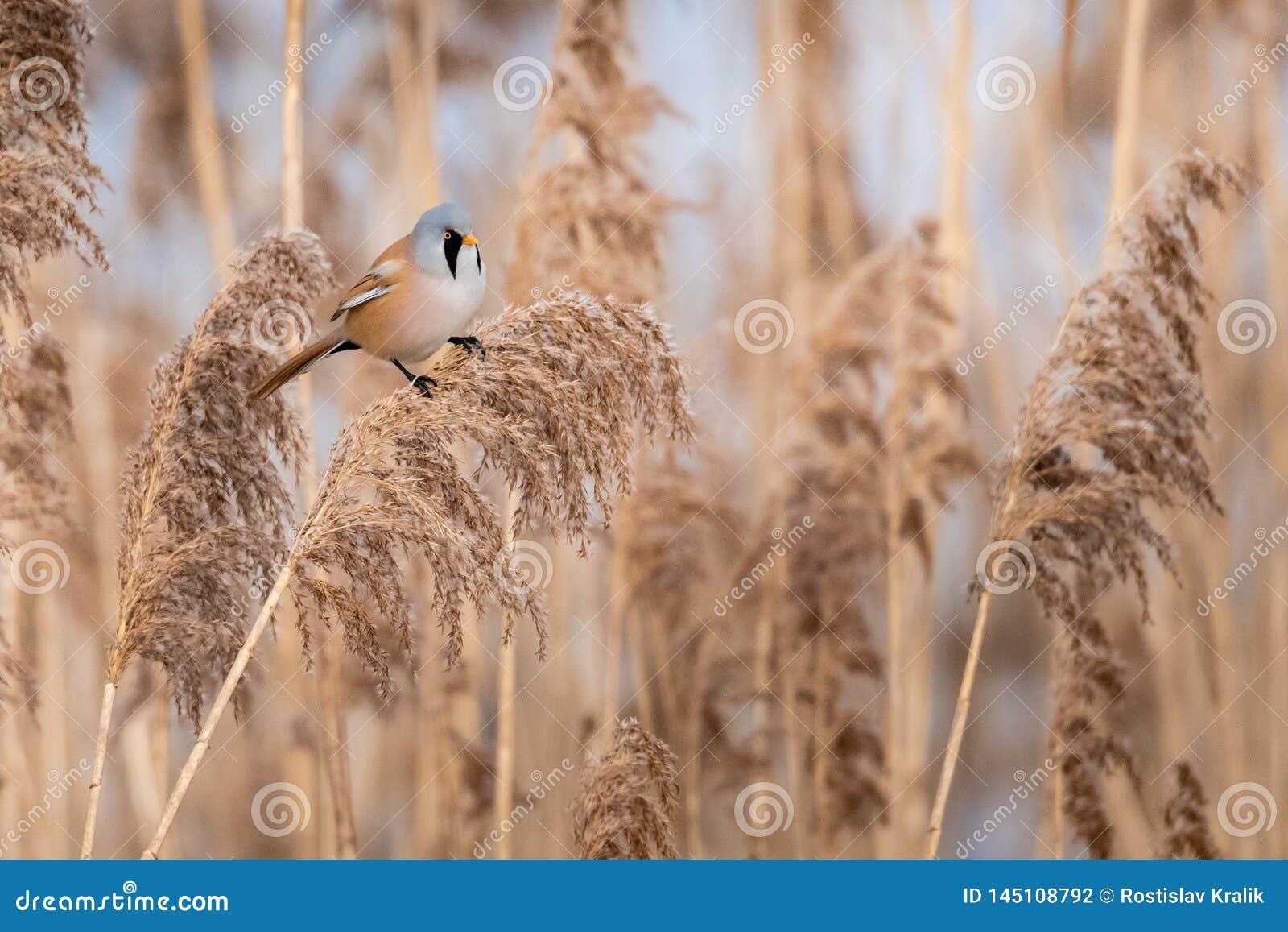 Het wild van Gebaarde biarmicus van Parrotbill Panurus op het gras wordt geschoten dat