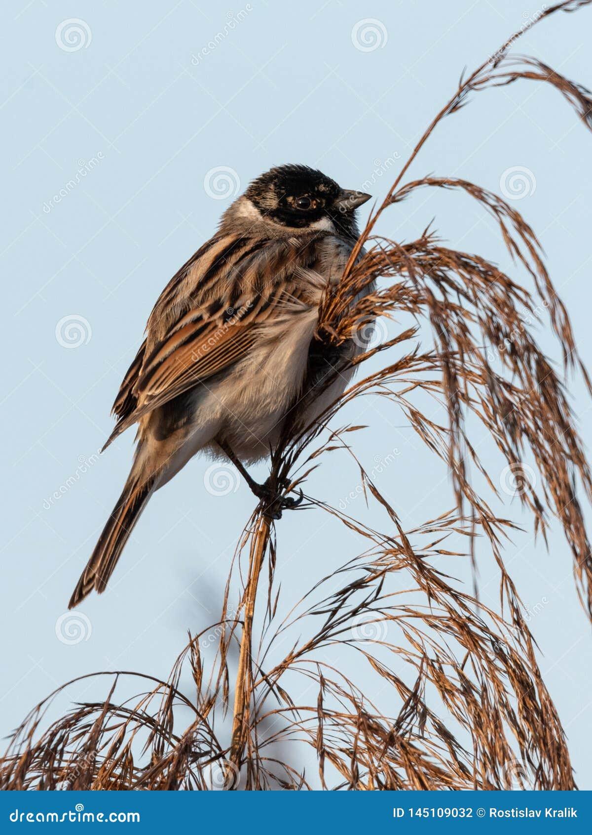 Het wild van Gemeenschappelijke Reed Bunting Emberiza-schoeniclus op het gras wordt geschoten dat