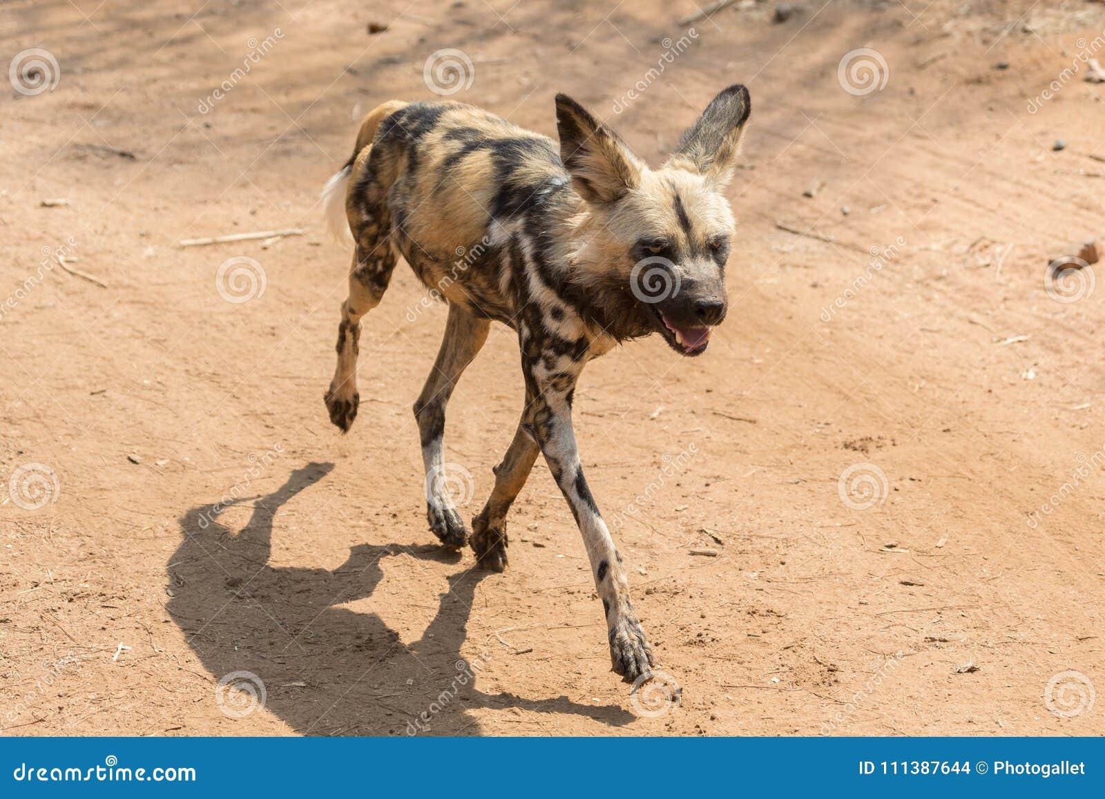 Het wilde hond lopen