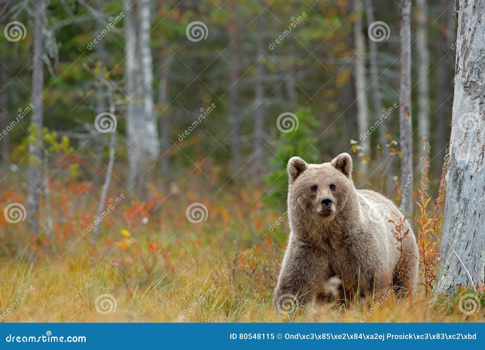 Het wildscène van Finland dichtbij Rusland bolder De herfstbos met beer Mooie bruin draagt lopend rond meer met de herfstcolo