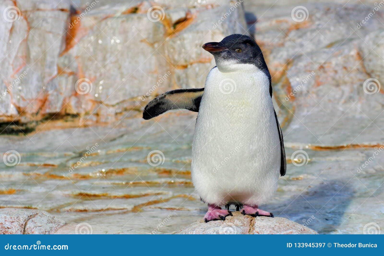 Het wit flippered pinguïn op witte rots