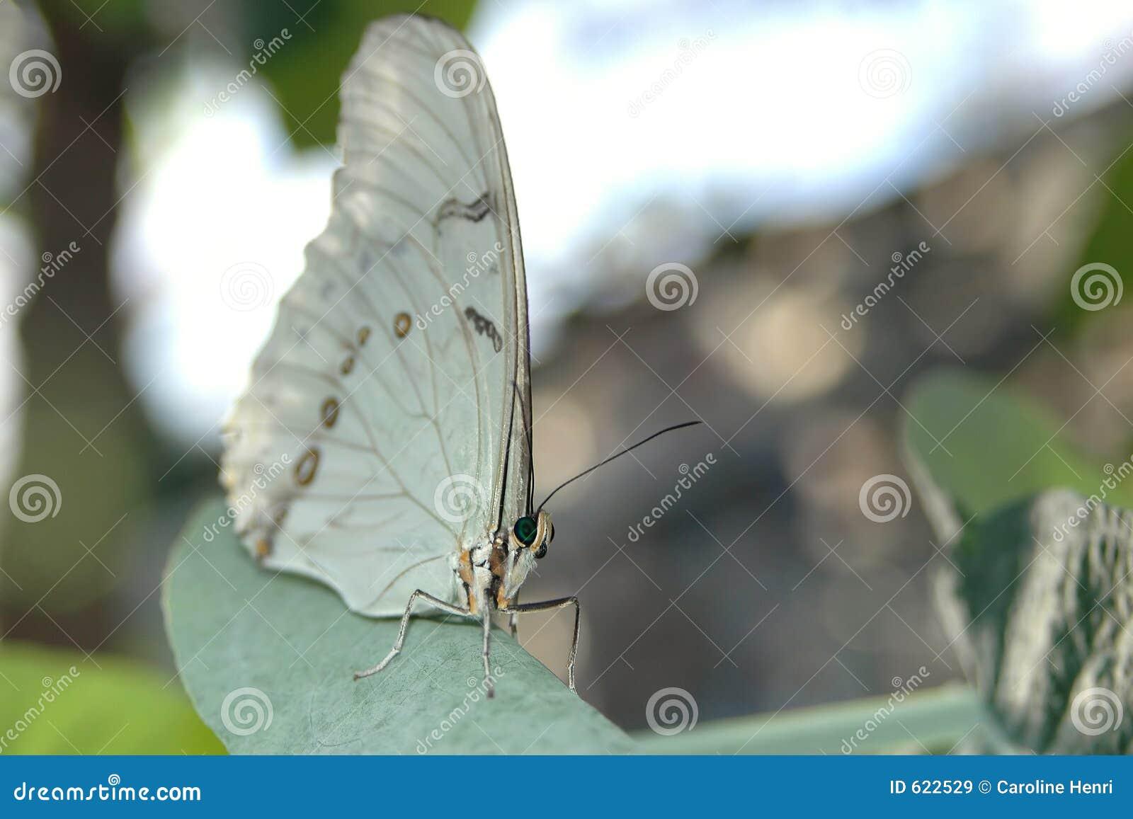 Het wit van Morpho (morphopolyphemus) op blad