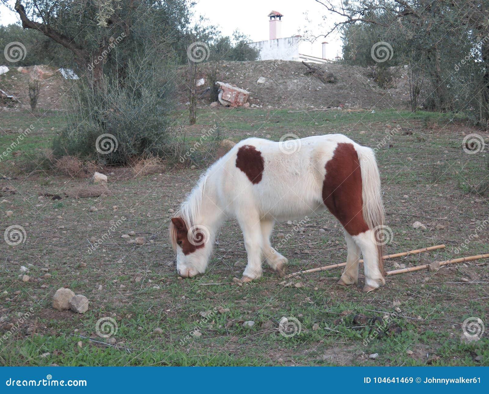 Download Het Witte En Bruine Poney Weiden Stock Afbeelding - Afbeelding bestaande uit paarden, stallion: 104641469