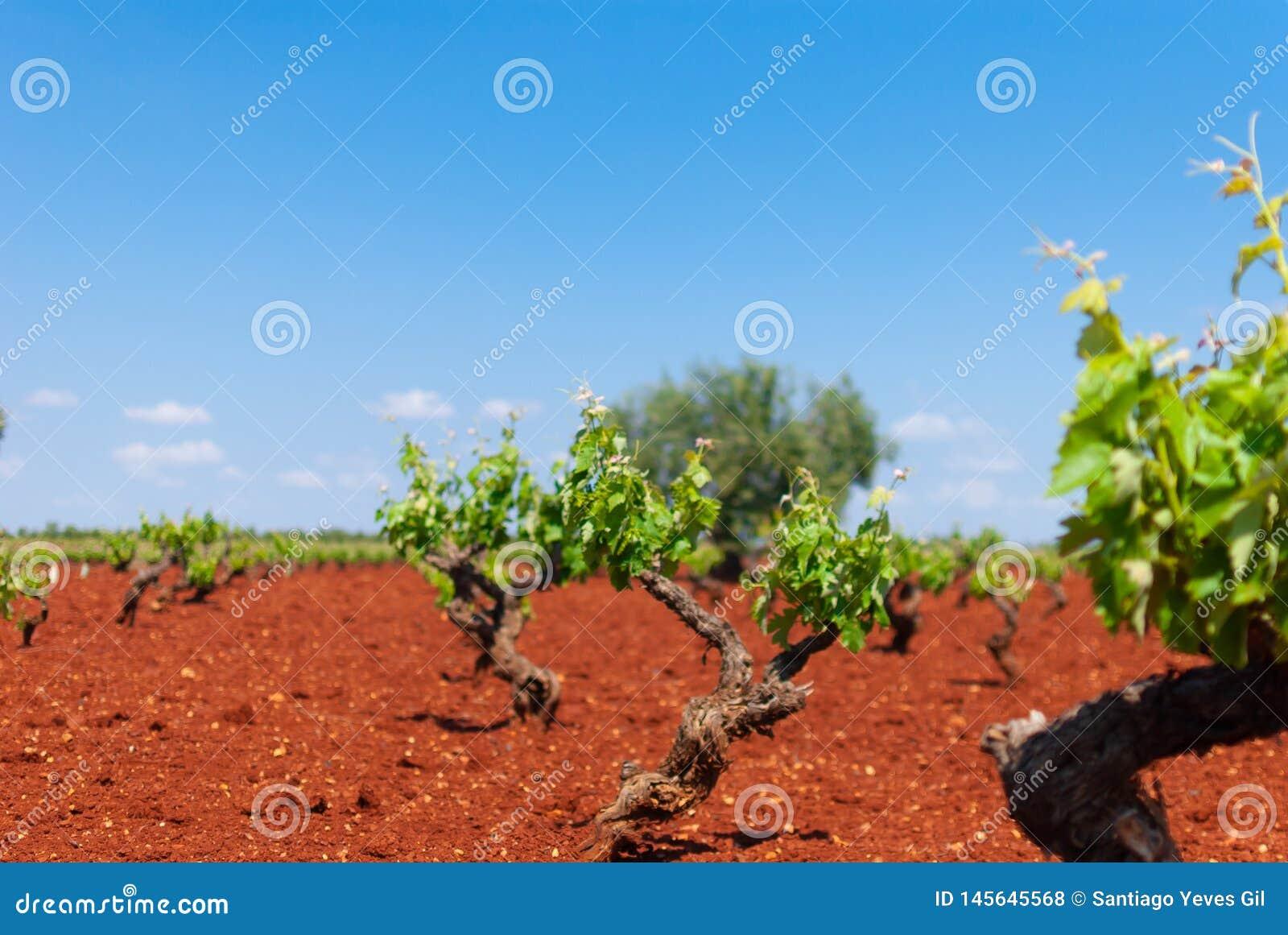 Het witte gebied van de druivenwijngaard onder de zon