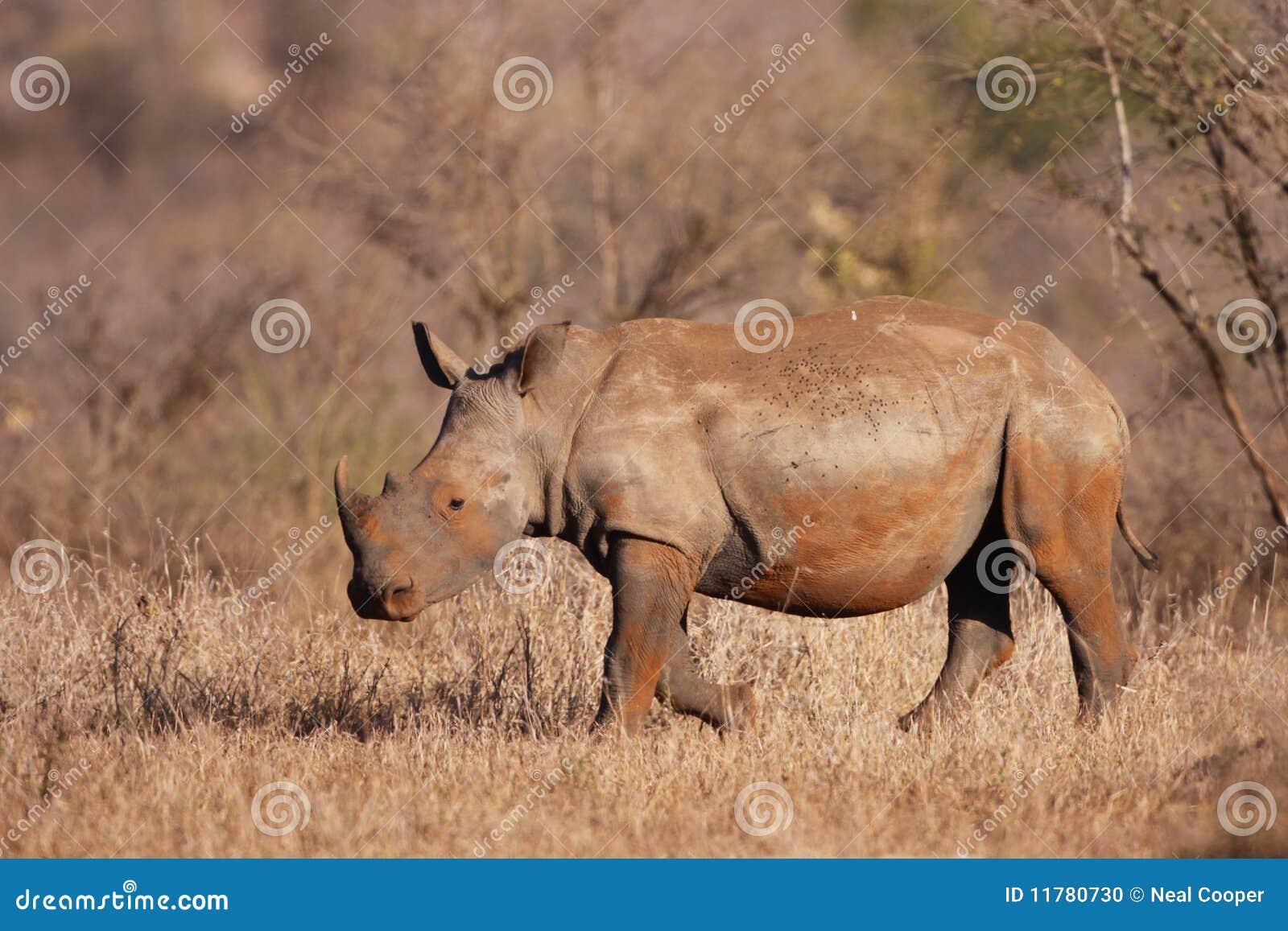 Het witte Kalf van de Rinoceros