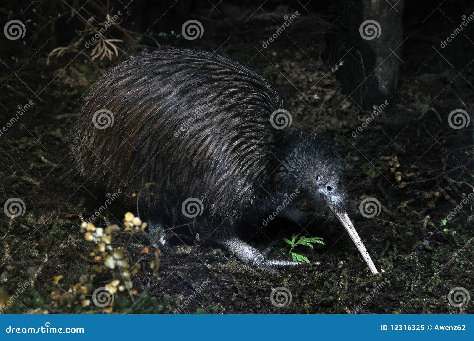 Het zoeken van de kiwi