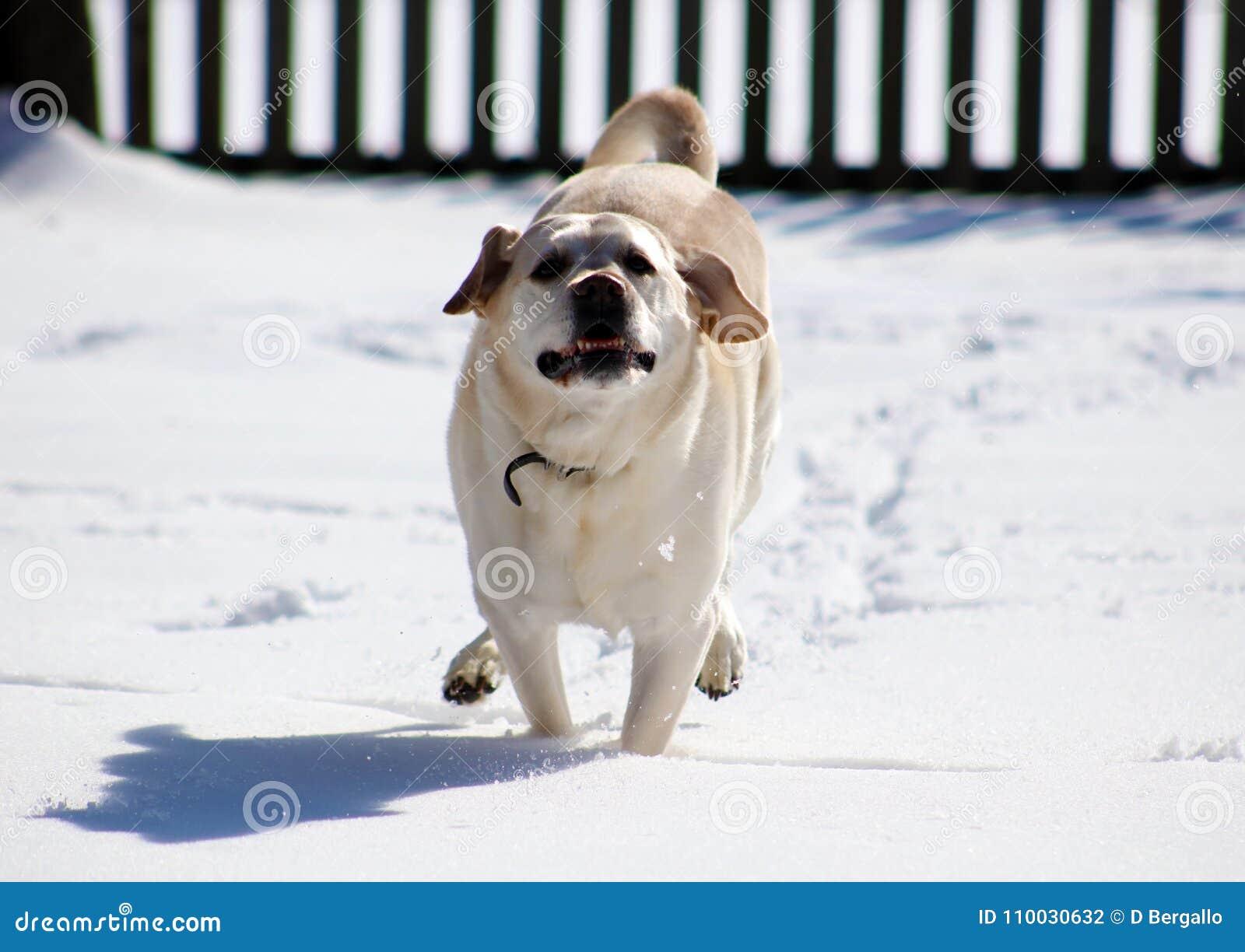 Het zoete labrador retriever-spelen in sneeuw, mooie beste hond