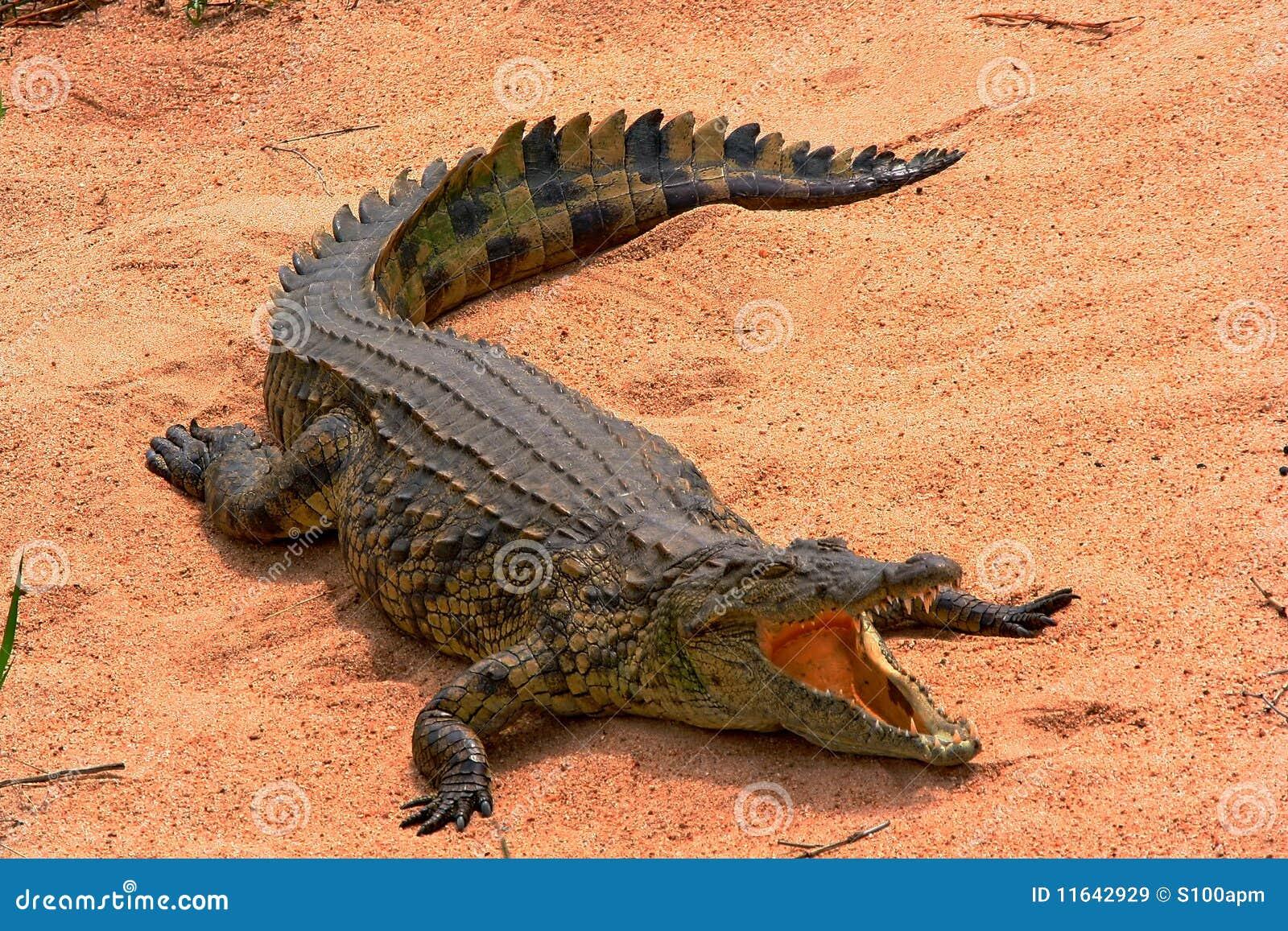 Het zonnebaden Krokodil