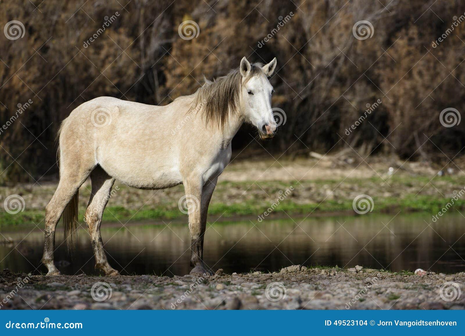 Het zoute Rivierwild paard stelt bij zonsondergang