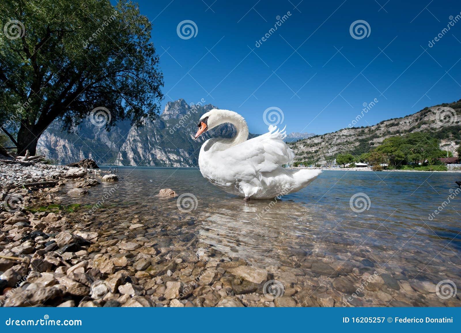 Het zwaanmeer
