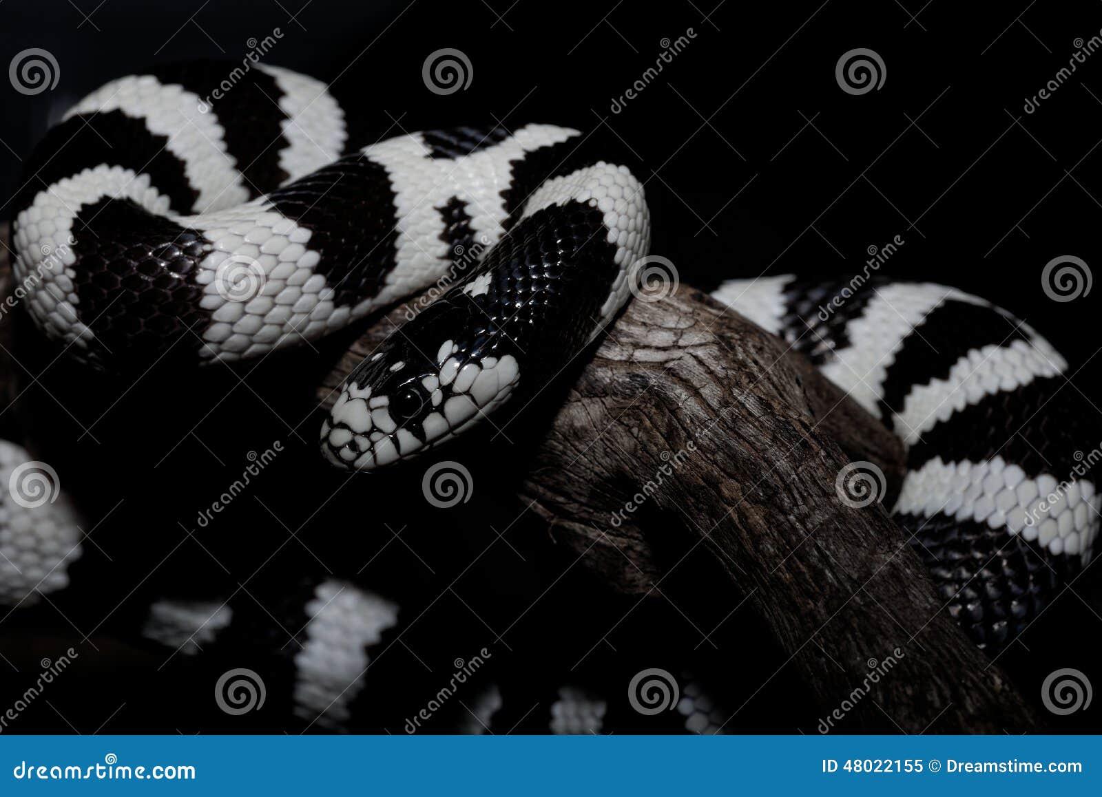 Het Zwart-wit Serpent Stock Foto - Afbeelding: 48022155