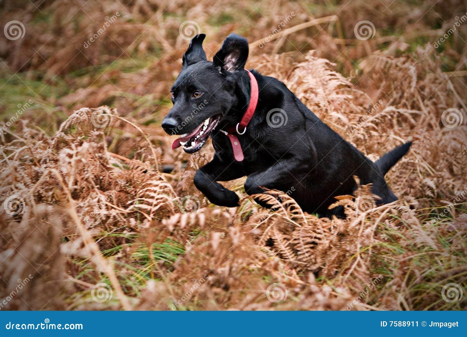 Het zwarte Lopen van Labrador