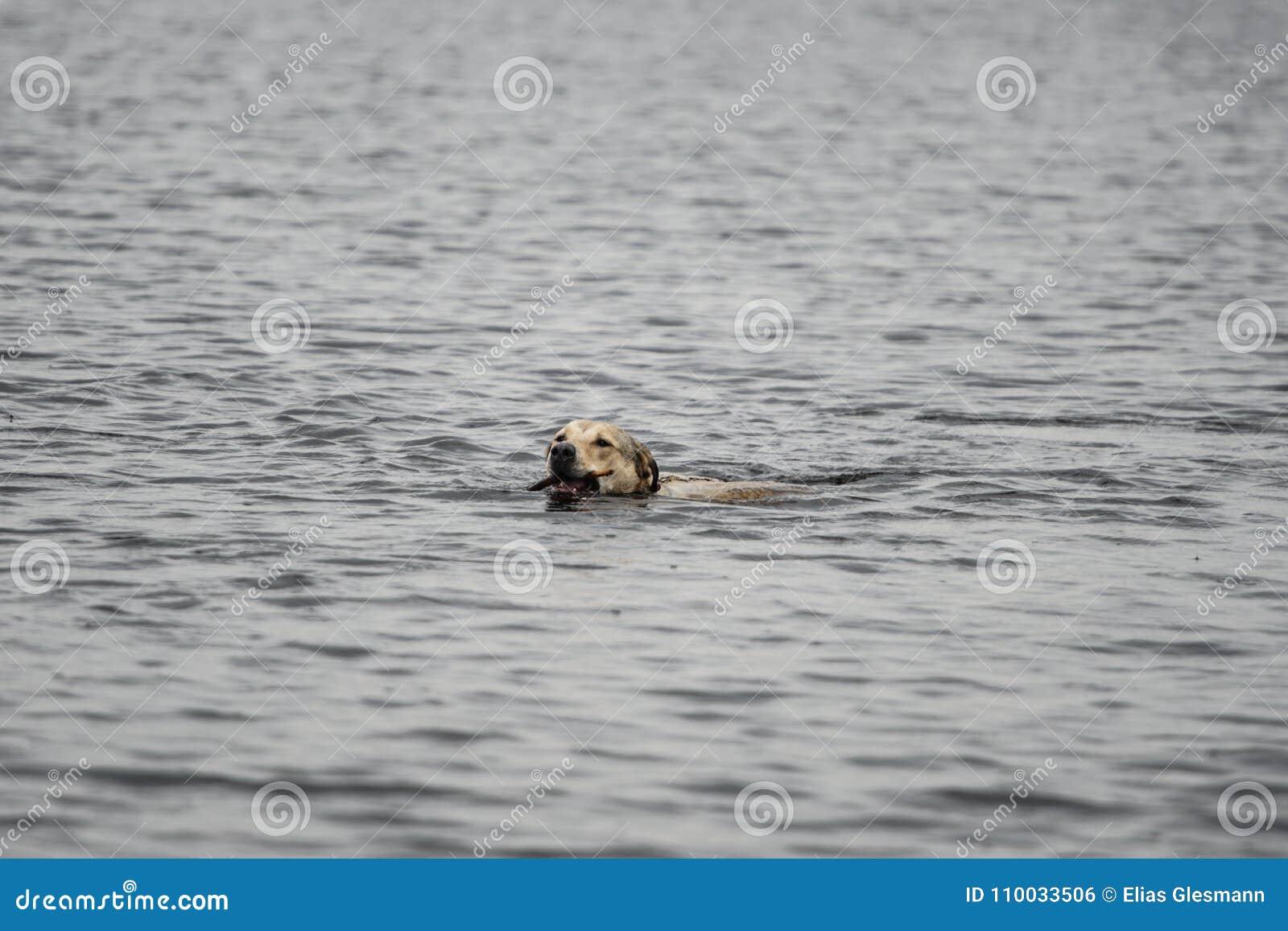 Het zwemmen van de hond