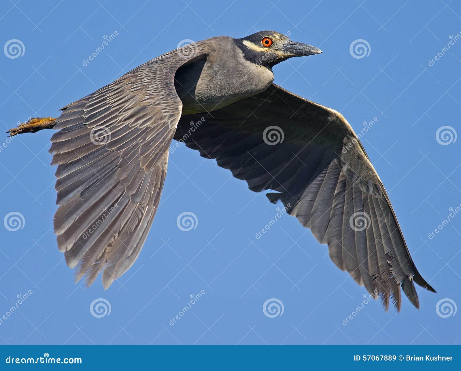 Hetbekroonde Nachtreiger Vliegen