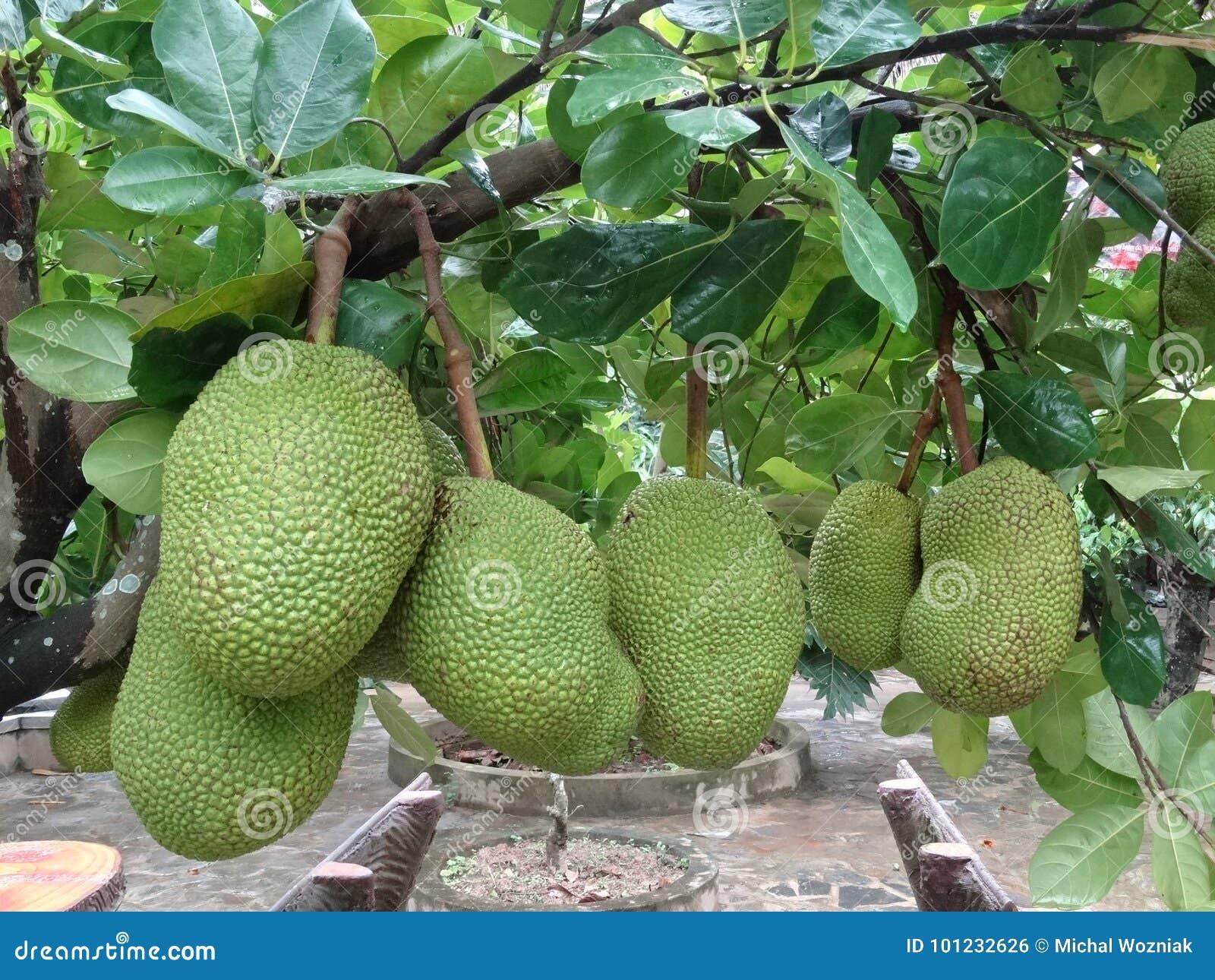 Heterophyllus de Artocarpus - jackfruit