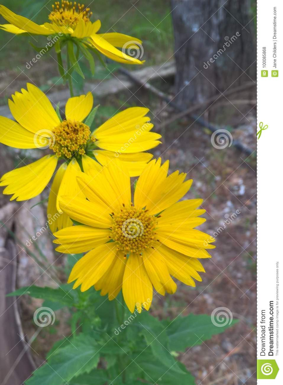 Yellow Camphorweed Flower Stock Photo Image Of Meadows 100085868