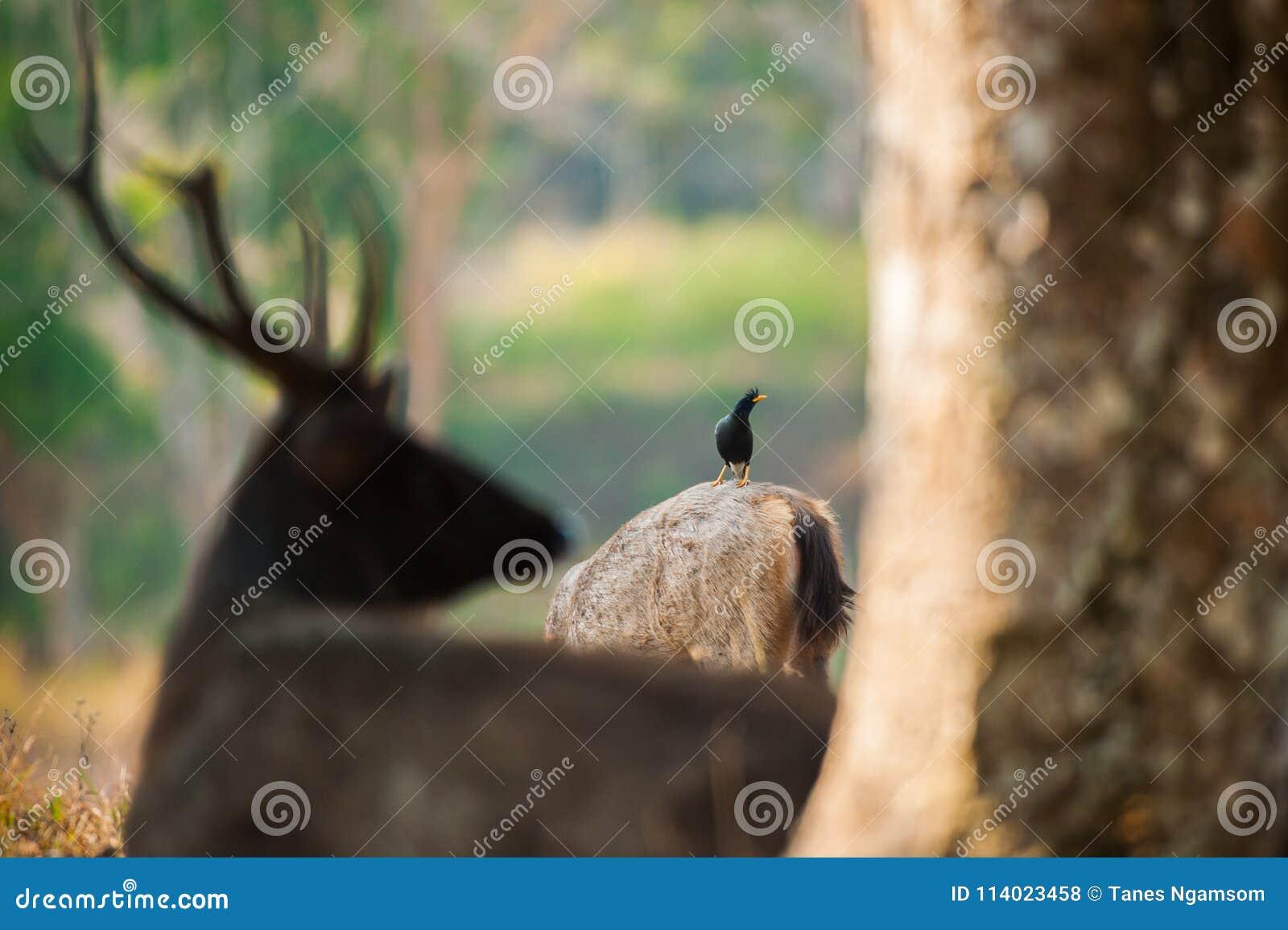 Hetgeluchte alarmeren van Myna en Sambar-aan gevaarlijke roofdieren