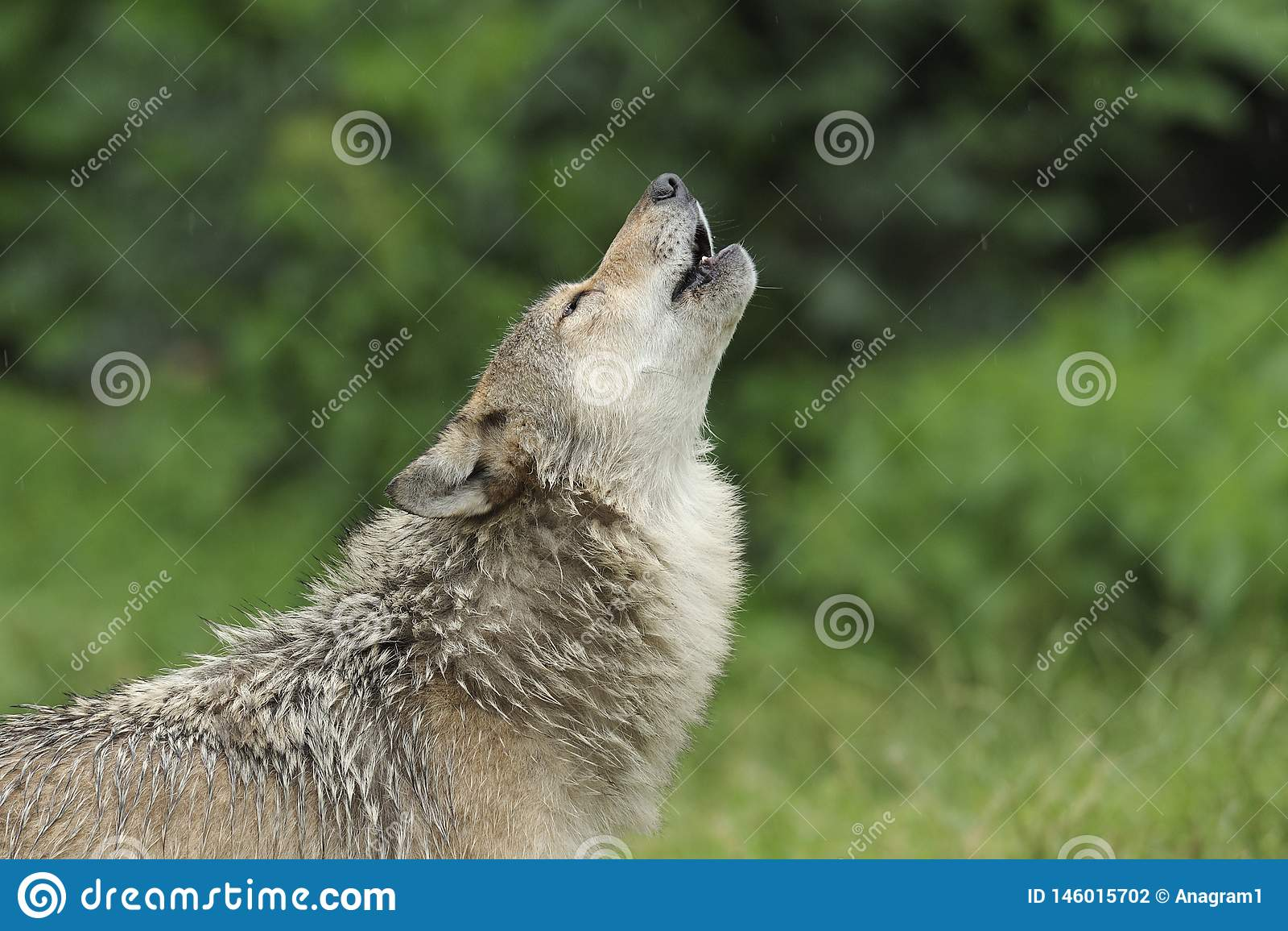 Heulender Gray Wolf