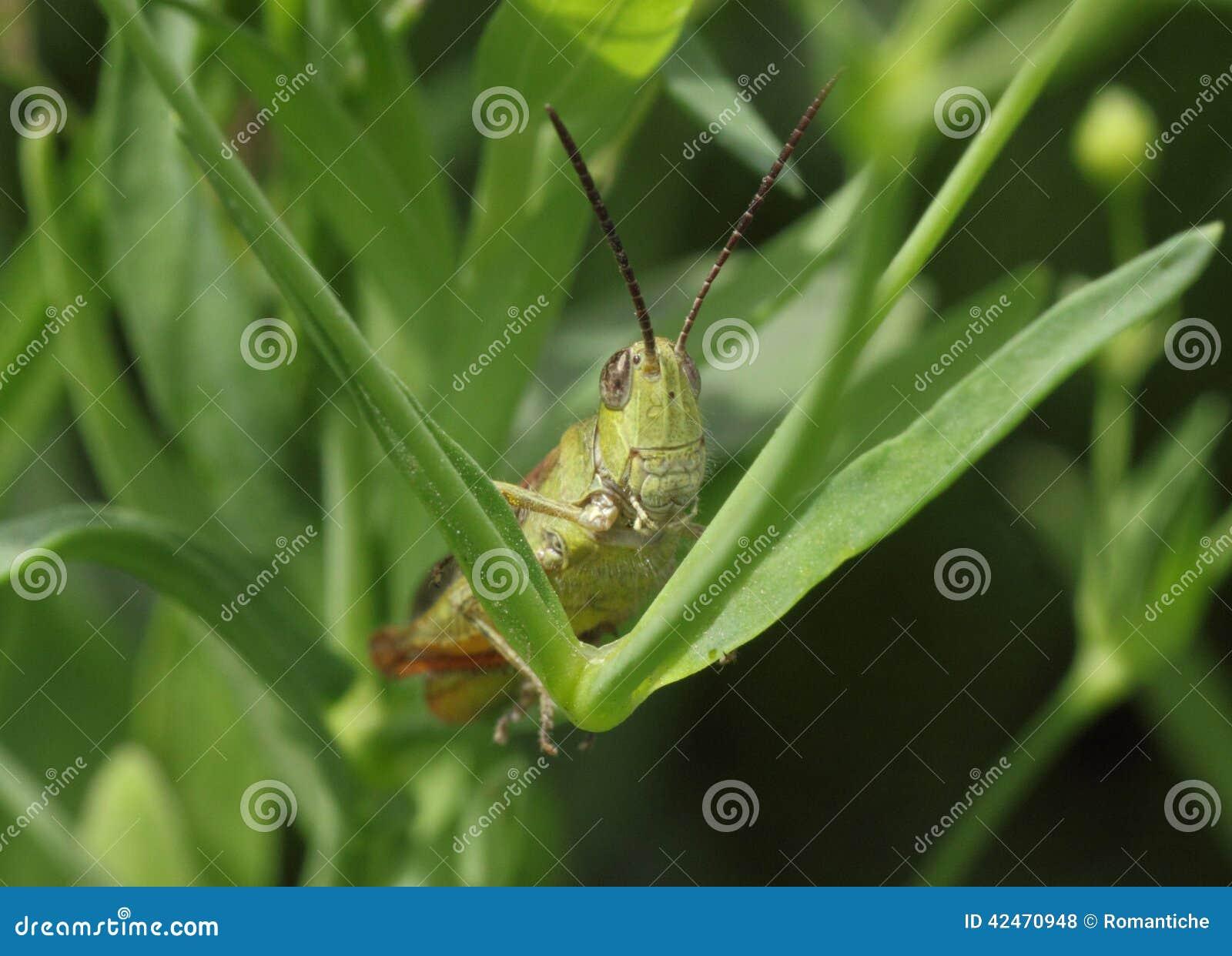 Heuschrecke, die im Gras sitzt