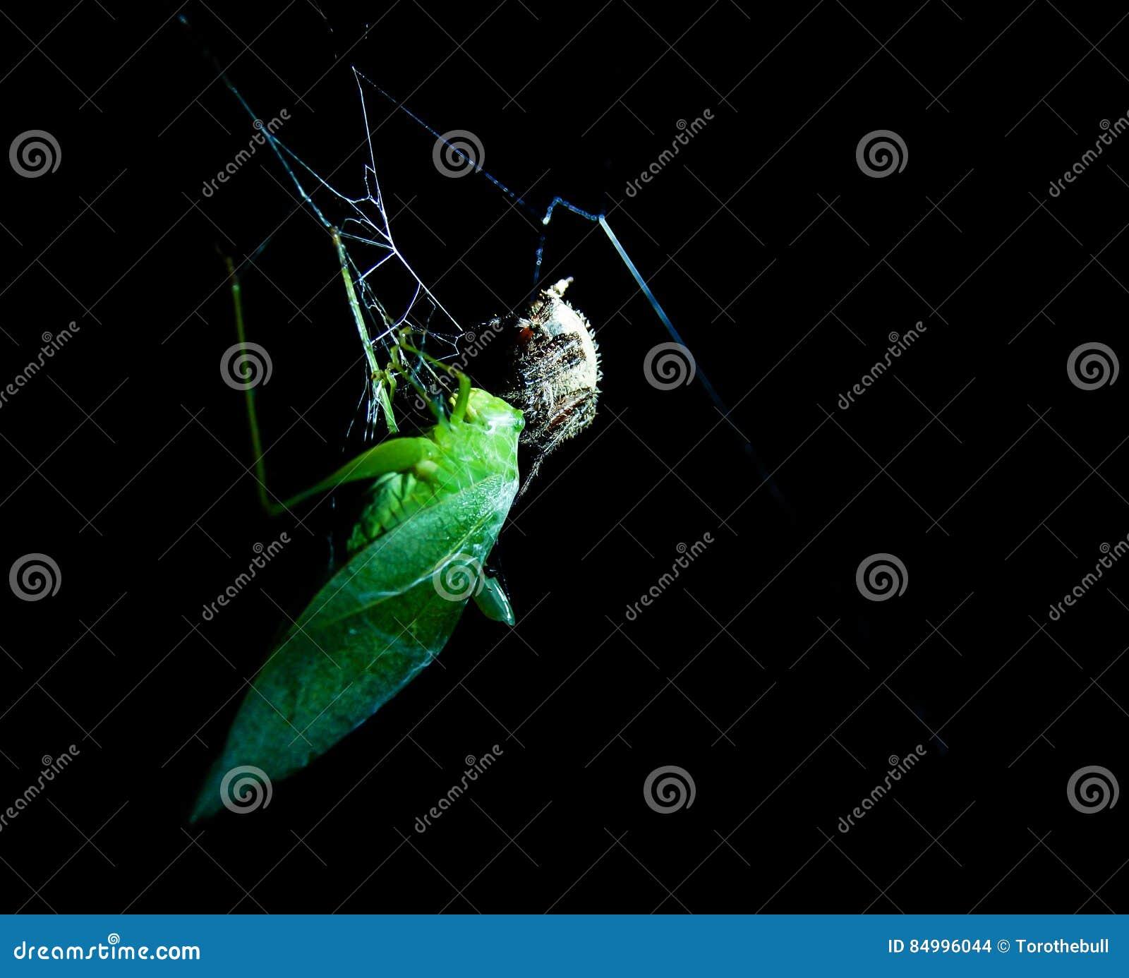 Heuschrecke gefangen in einem Spinnennetz