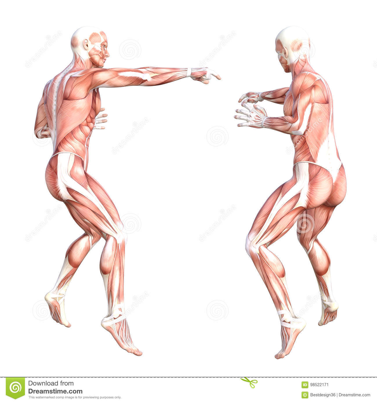 Hhealthy Skinless Human Body Muscle System Set Stock Illustration
