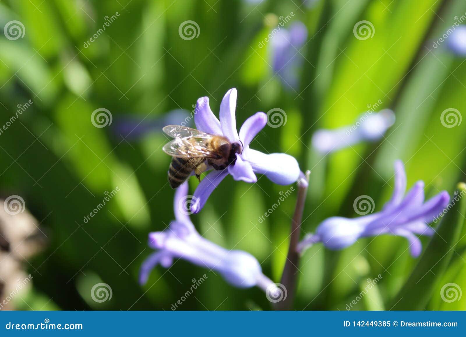 Hiacynt odwiedzający pszczołą