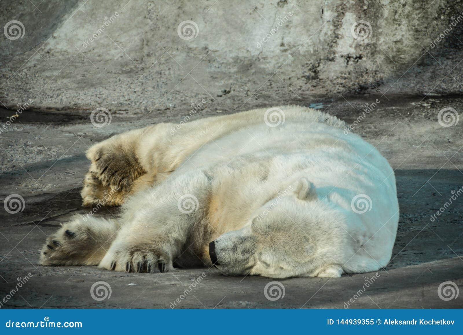 Hibernando o urso polar