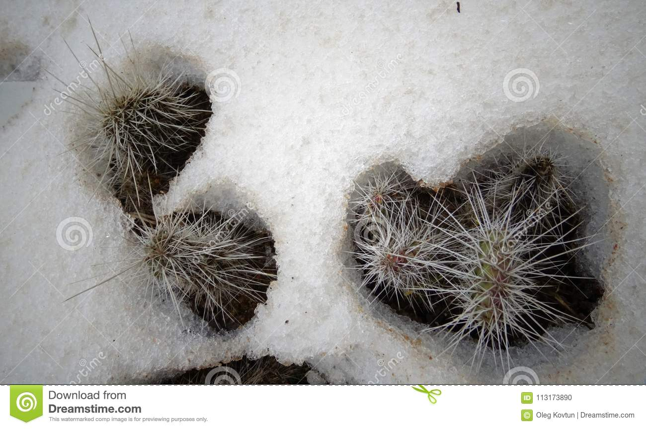 Hibernating in the open ground cacti, in the spring under the sn