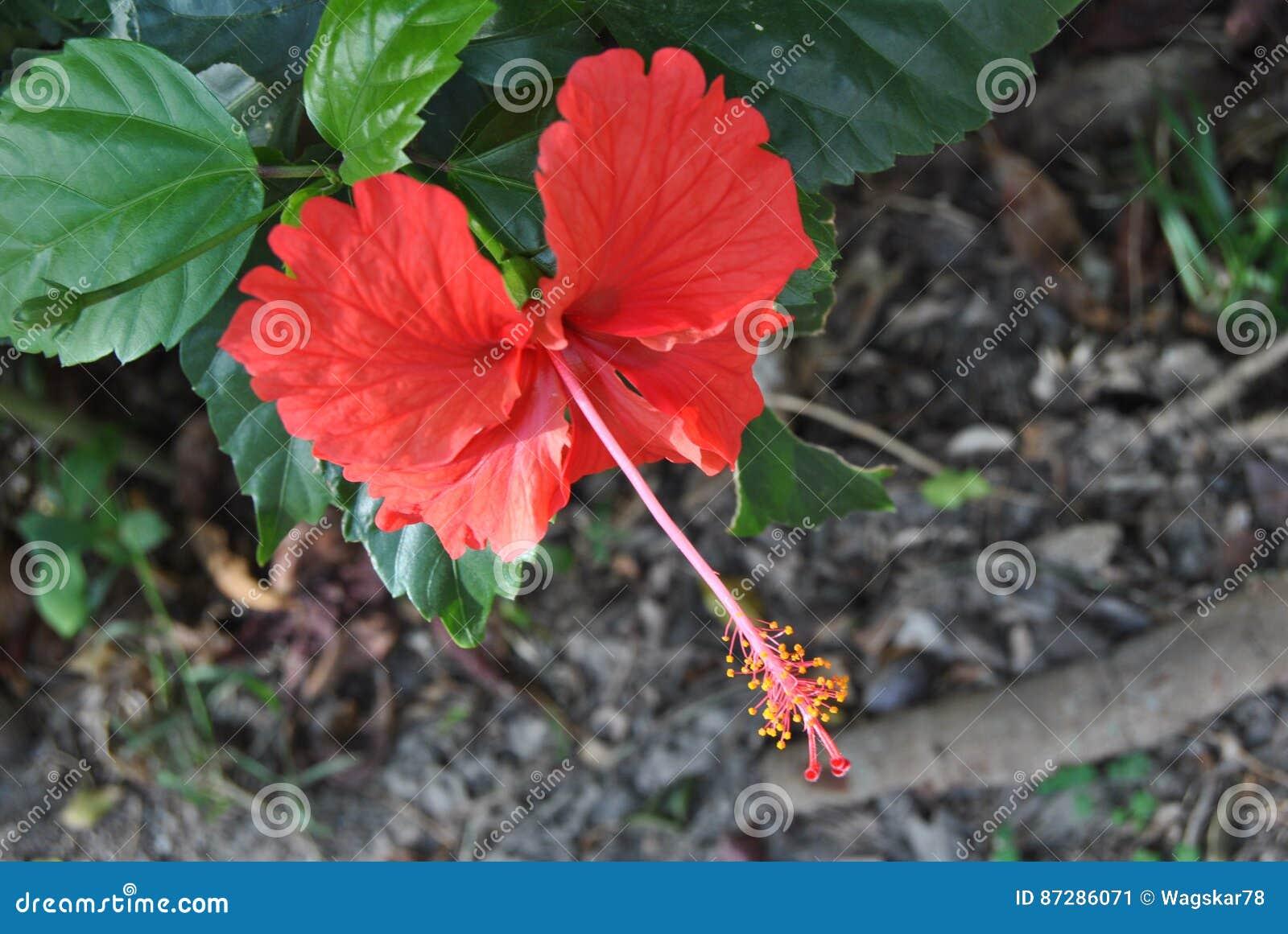 Hibisco rojo