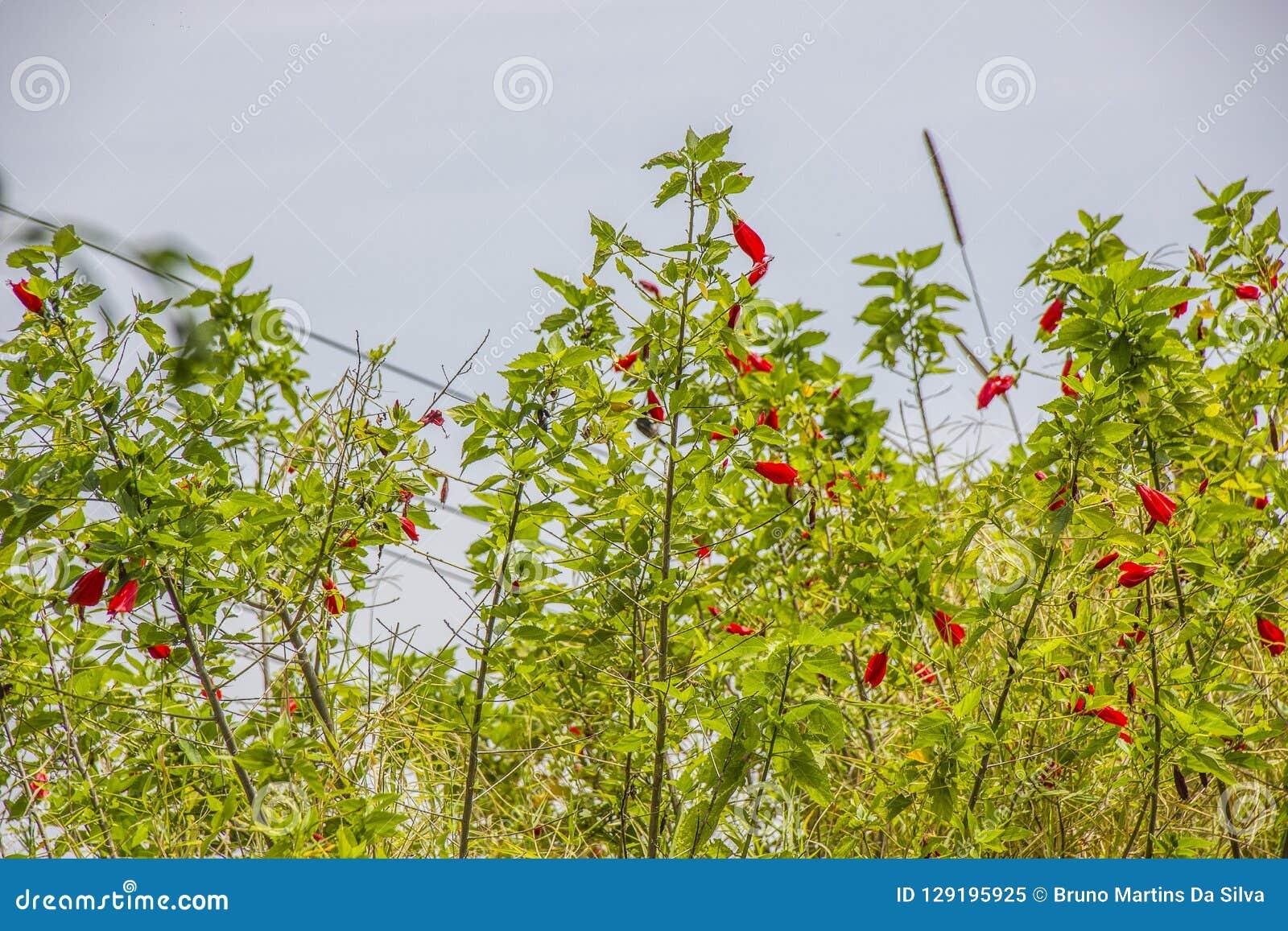 Hibisco rojo al aire libre