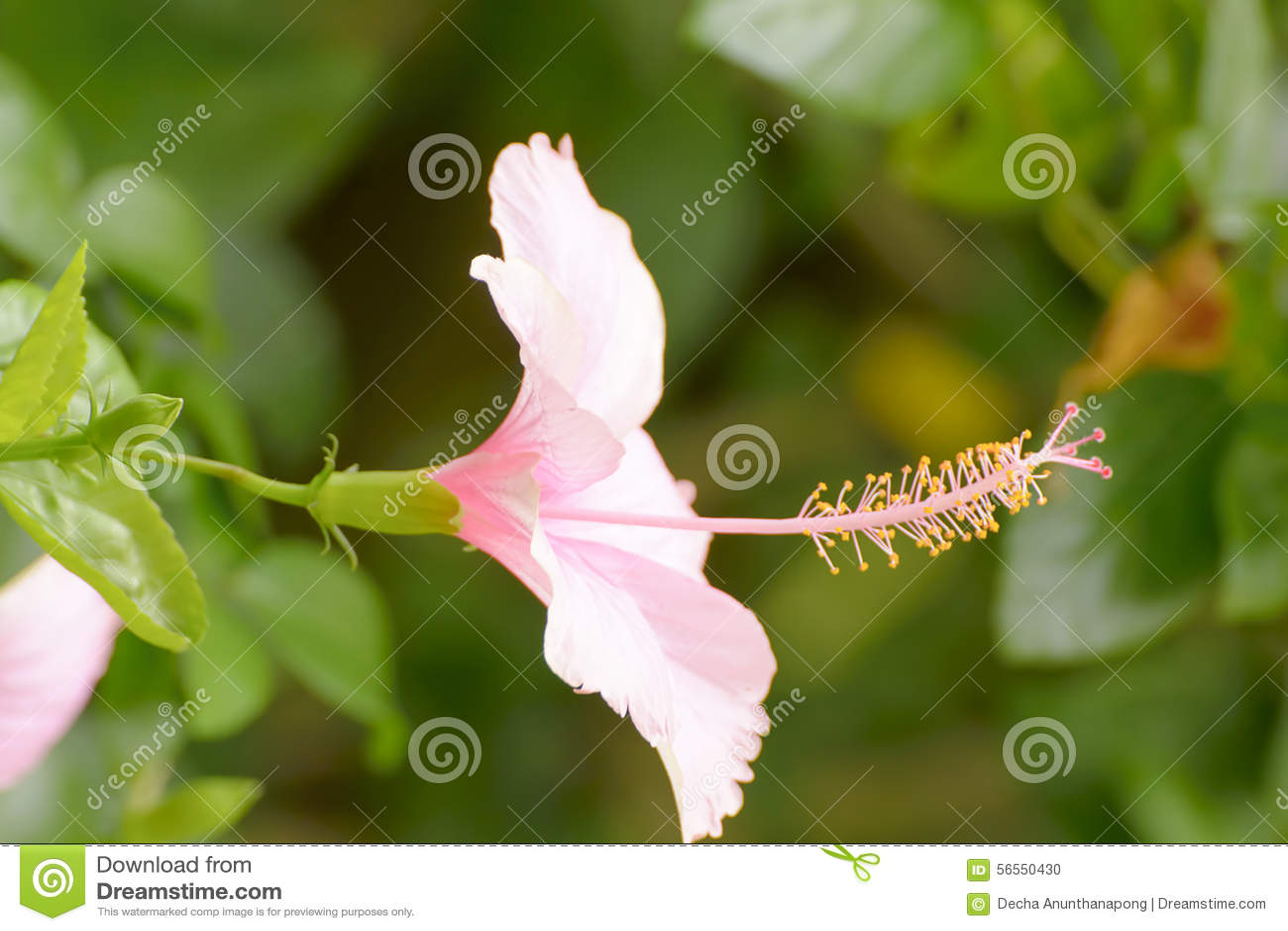 Download Hibiscus είναι ένα γένος των ανθίζοντας φυτών στη Mallow οικογένεια, Malvaceae Στοκ Εικόνες - εικόνα από οικογένεια, εκατό: 56550430