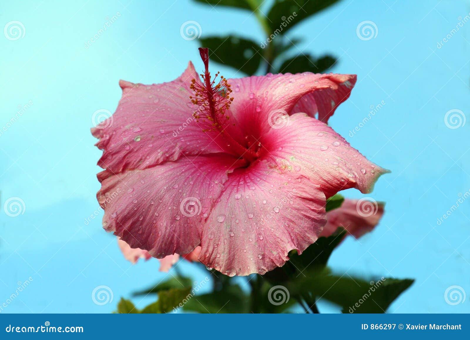 Hibiscus λουλουδιών δροσιάς