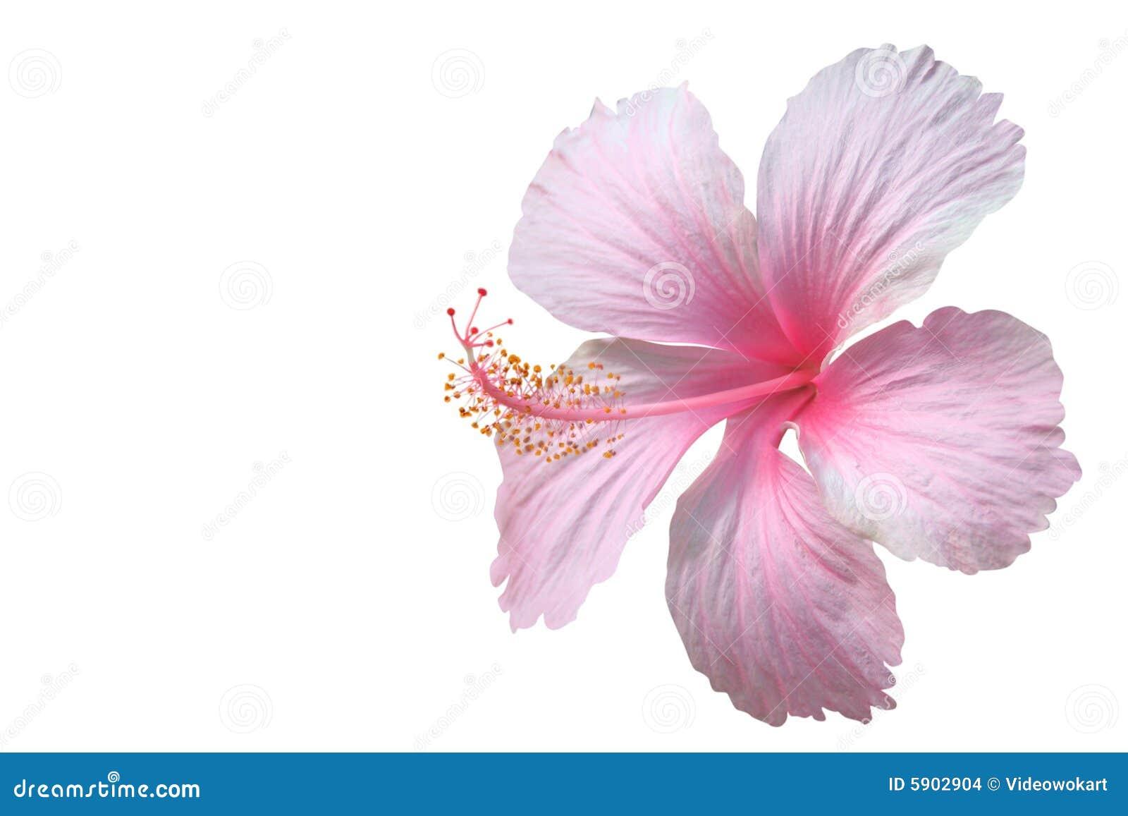 Hibiscus ροζ