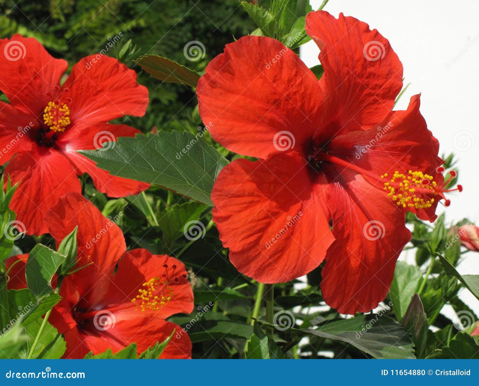 Hibiscus цветка