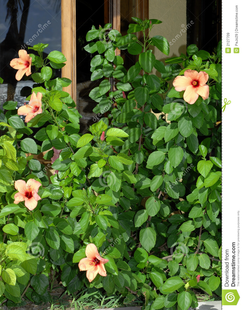 Hibiscus stock image. Image of hibiscus, contrast, tropical - 2127709