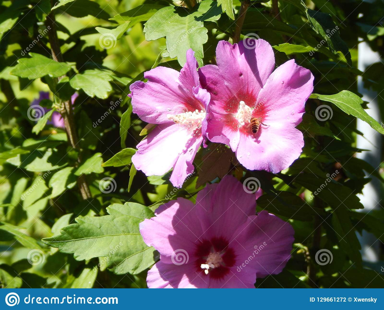 Close Light Purple Hibiscus Blossoms With Green Background Stock
