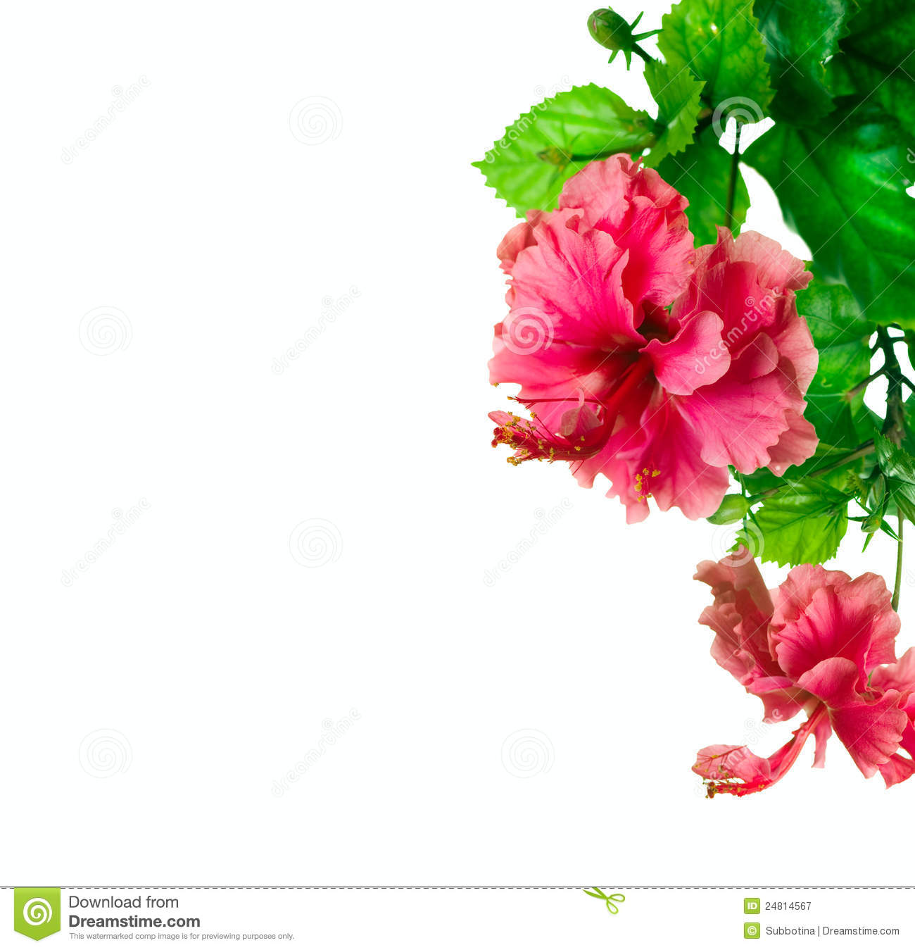 Hibiscus Border Design Stock Image Image Of Drink Blossom 24814567
