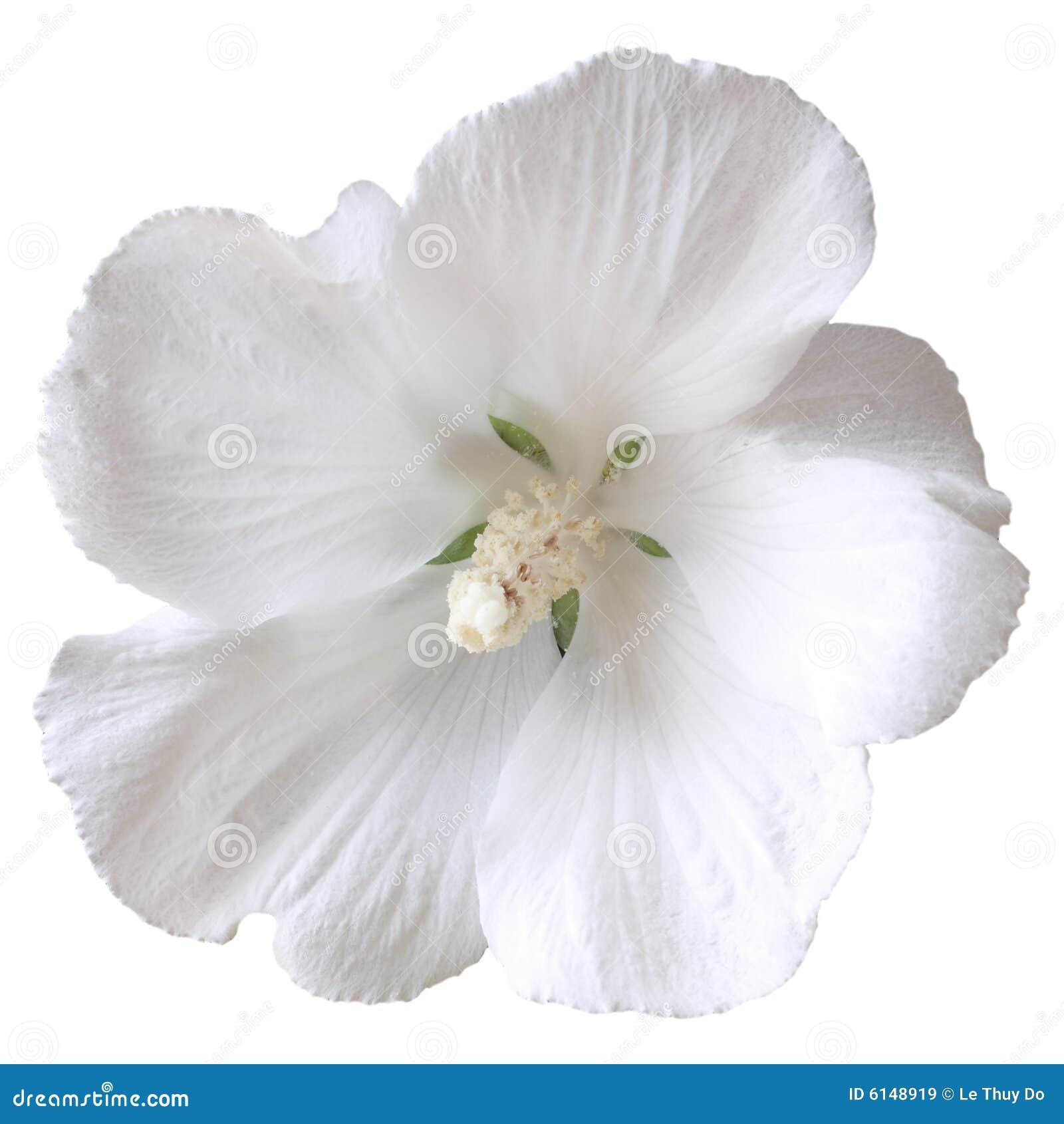Hibiscus branco