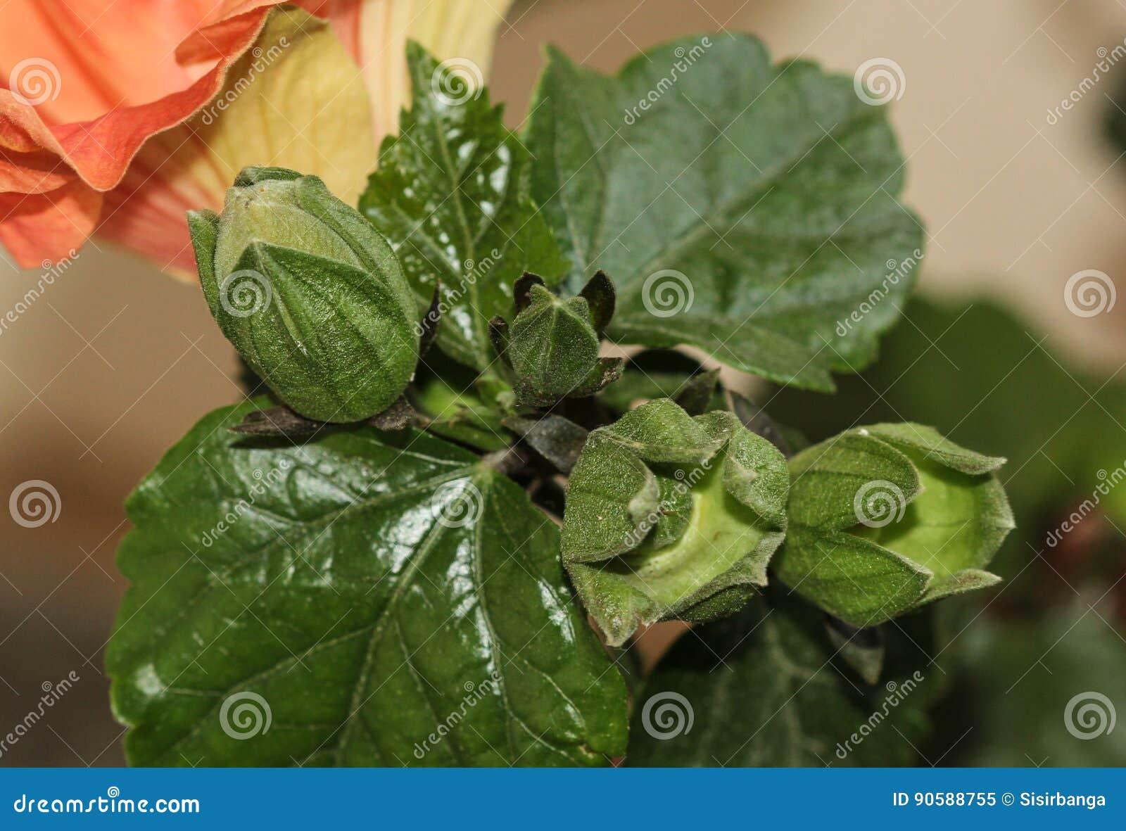 Hibiscus Bud And Calyx Stock Image Image Of Autumn Calyx 90588755