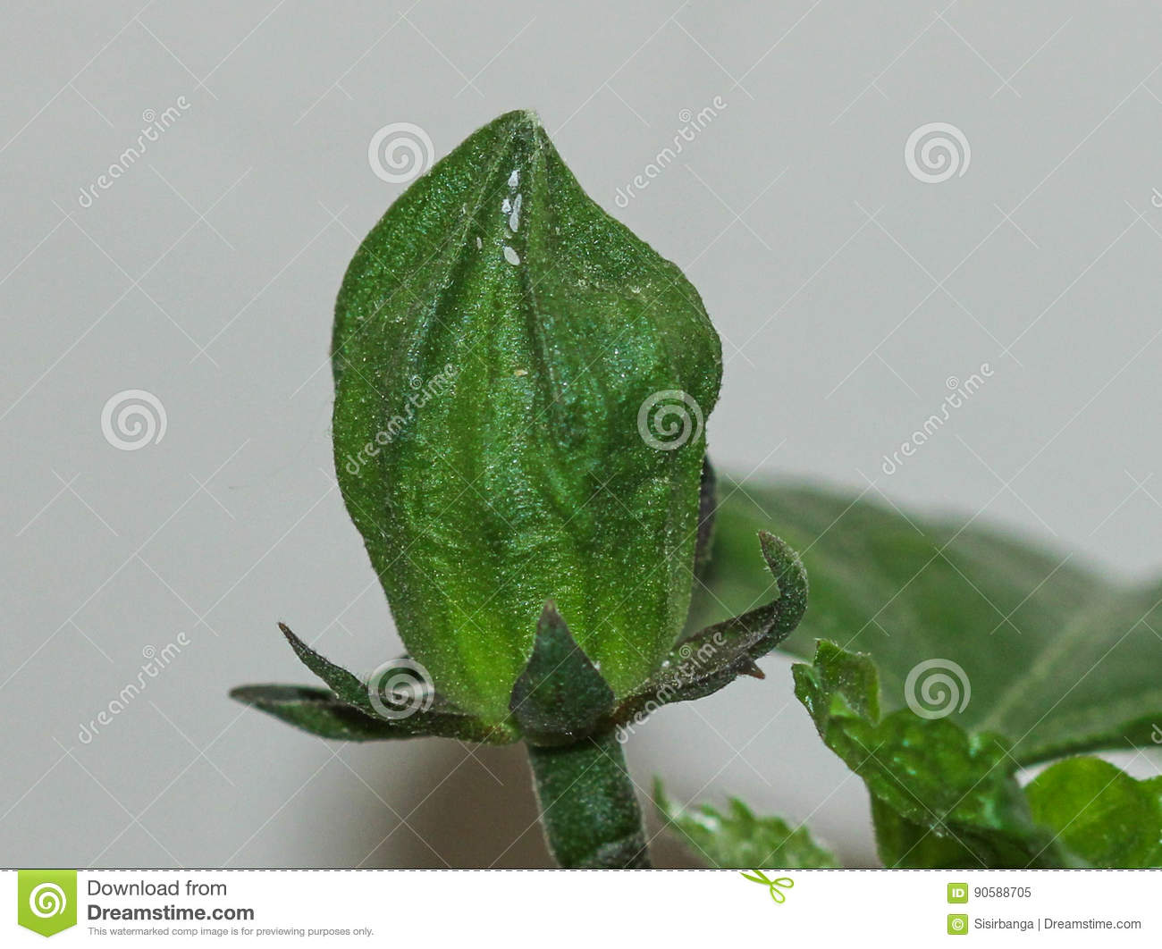 Hibiscus Bud With Plant Juice Sucking Insects Stock Image Image Of