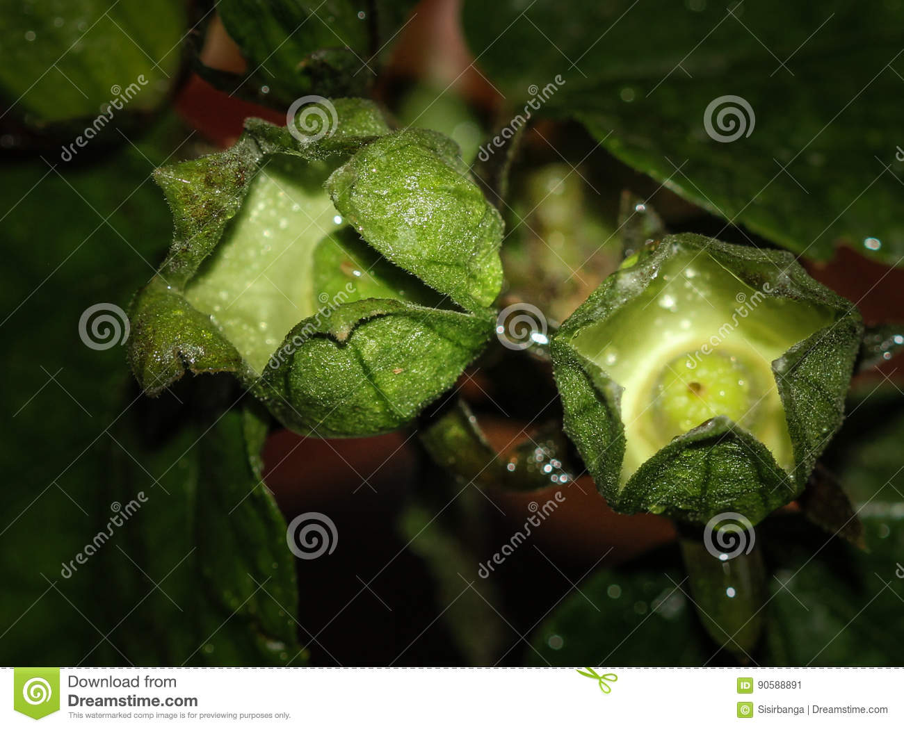 Hibiscus Calyces With Ovary Stock Image Image Of Agua Bissap