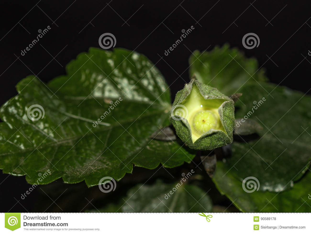 Hibiscus Calyx With Ovary Stock Photo Image Of Complete 90589178