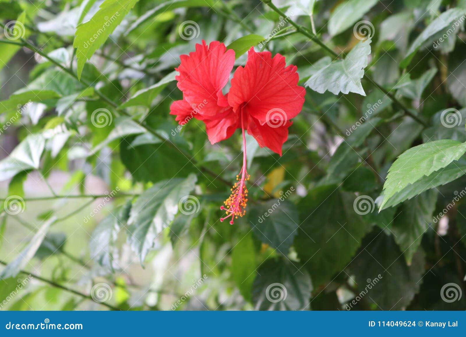 Hibiscus China Rose Flower In Bangladeshi Garden Stock Photo Image