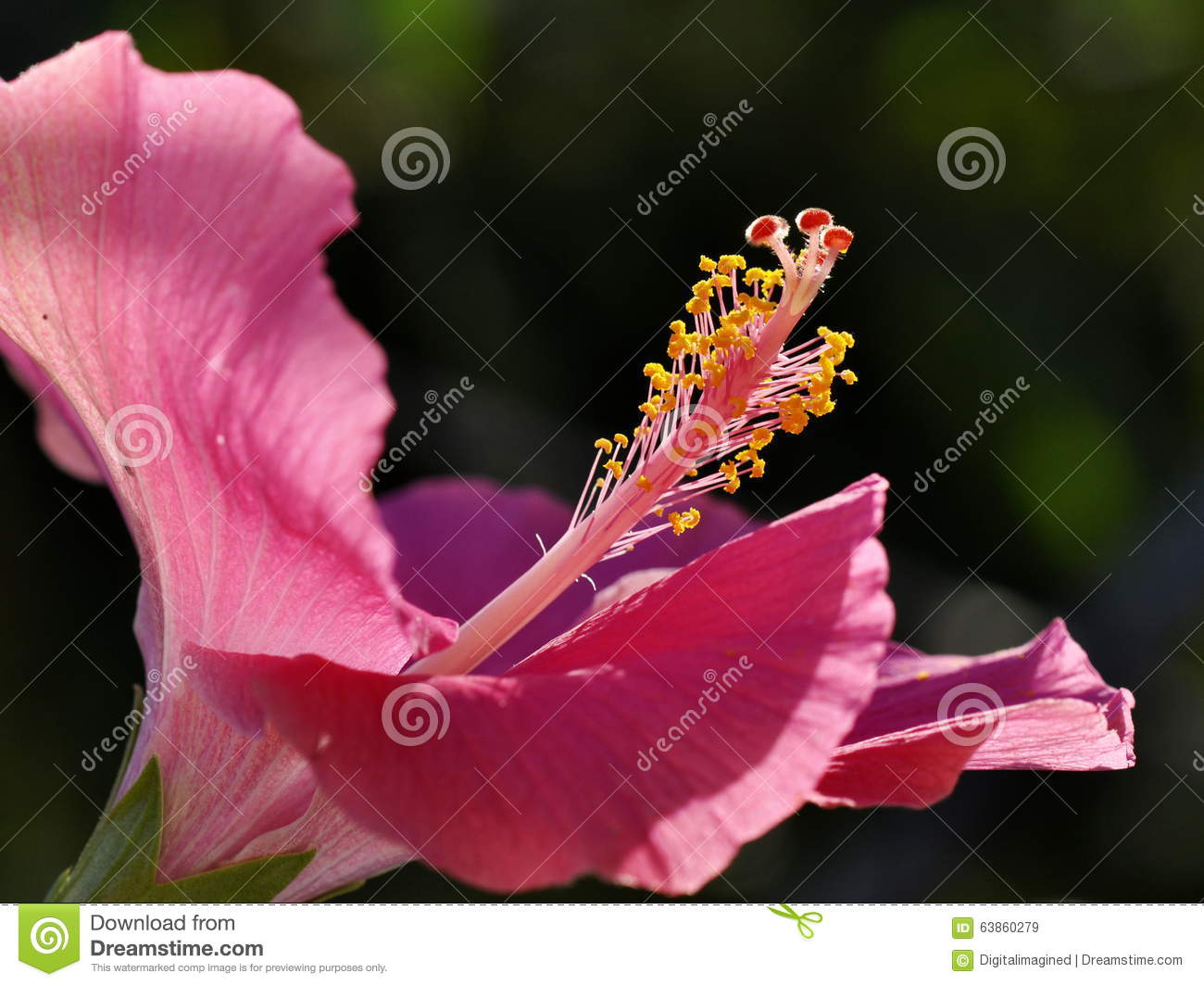 Hibiscus Stock Image Image Of Flower Reproductive Pistil 63860279