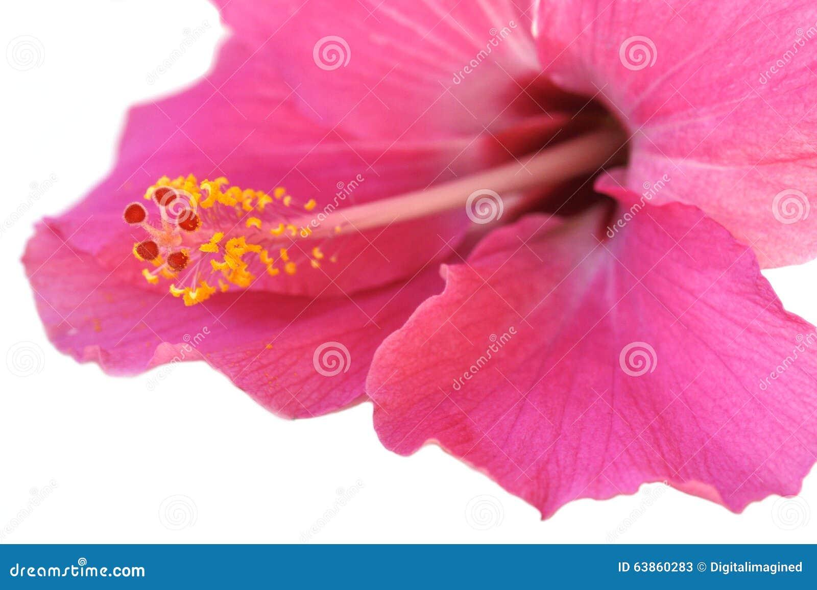 Hibiscus Stock Image Image Of Pollen Scar Pistil Hibiscus 63860283