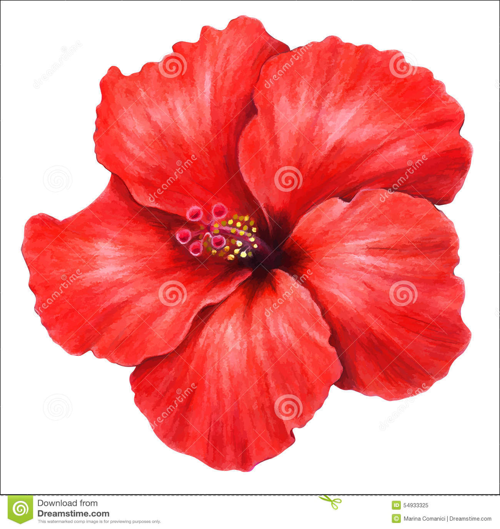Hibiscus stock vector. Illustration of stigma, hibiscus - 54933325