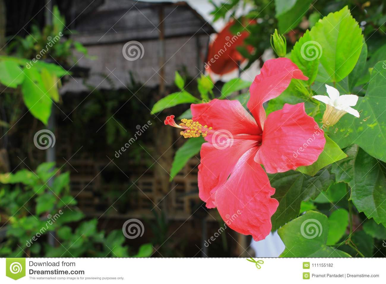 Hibiscus Flower Beautiful On Tree Close Up Stock Photo Image Of